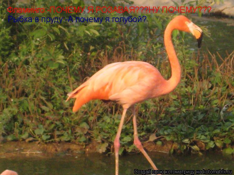 Котоматрица: Фламинго:-ПОЧЕМУ Я РОЗАВАЯ???НУ ПОЧЕМУ??? Рыбка в пруду:-А почему я голубой?