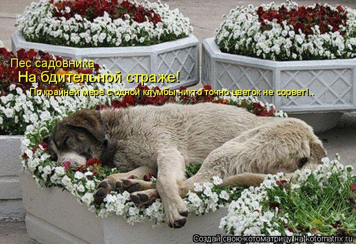Котоматрица: По крайней мере с одной клумбы никто точно цветок не сорвет!.. Пес садовника На бдительной страже!