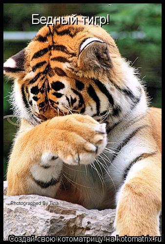 Котоматрица: Бедный тигр!