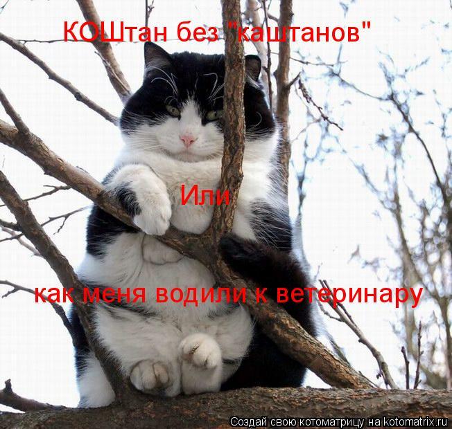 """Котоматрица: КОШтан без """"каштанов"""" Или  как меня водили к ветеринару"""