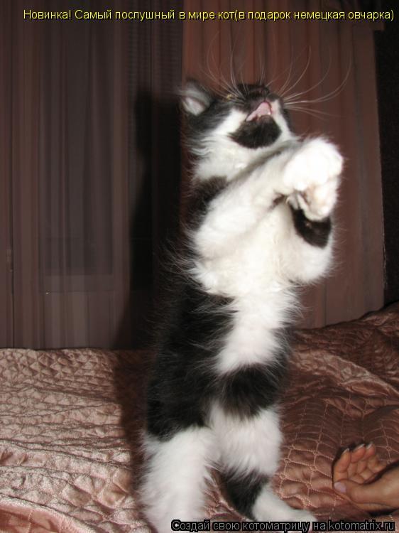 Котоматрица: Новинка!  Новинка! Самый послушный в мире кот(в подарок немецкая овчарка)