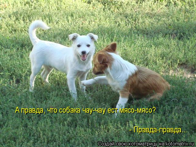 Котоматрица: А правда, что собака чау-чау ест мясо-мясо?  - Правда-правда...