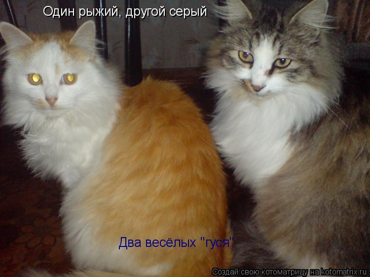 """Котоматрица: Один рыжий, другой серый Два весёлых """"гуся""""."""