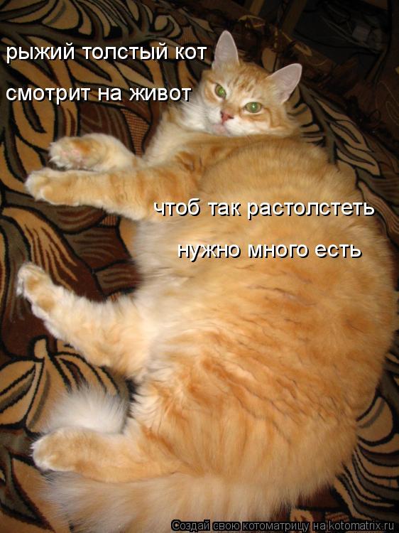 Котоматрица: рыжий толстый кот смотрит на живот чтоб так растолстеть  нужно много есть