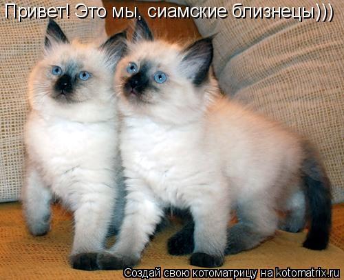 Котоматрица: Привет! Это мы, сиамские близнецы)))