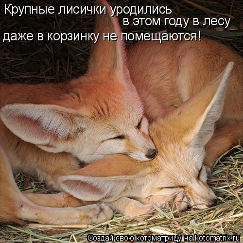 Котоматрица: Крупные лисички уродились  в этом году в лесу  даже в корзинку не помещаются!
