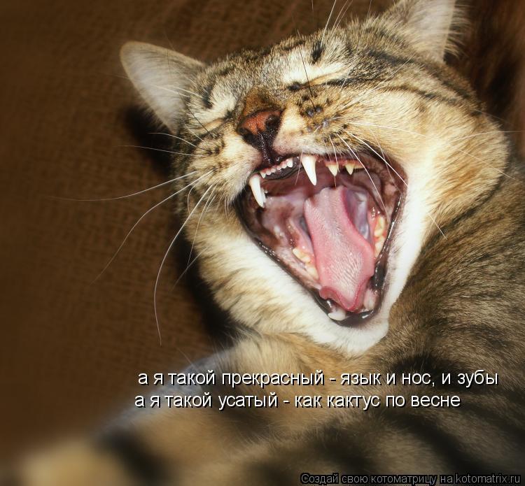 Котоматрица: а я такой прекрасный - язык и нос, и зубы а я такой усатый - как кактус по весне