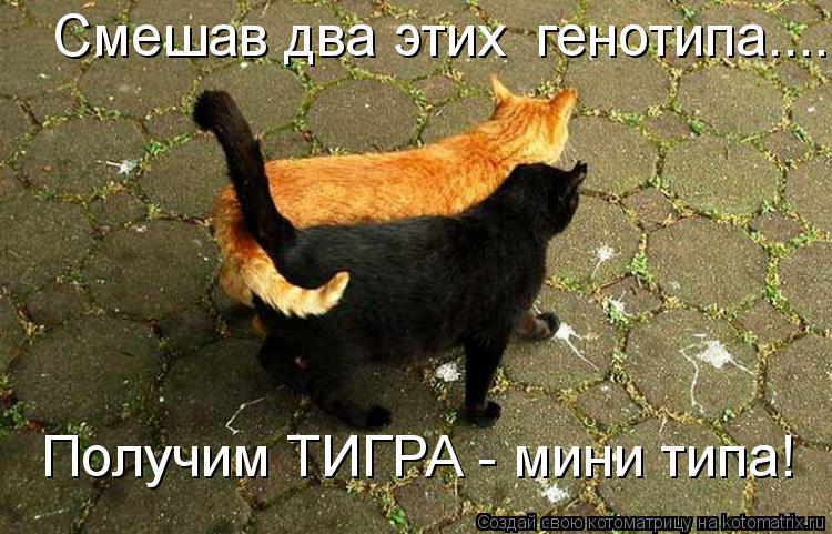 Котоматрица: Смешав два этих  генотипа........ Получим ТИГРА - мини типа!