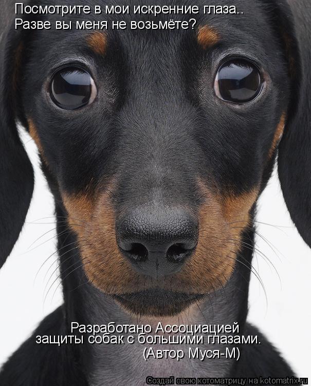 Котоматрица: Посмотрите в мои искренние глаза.. Разве вы меня не возьмёте? Разработано Ассоциацией  защиты собак с большими глазами. (Автор Муся-М)