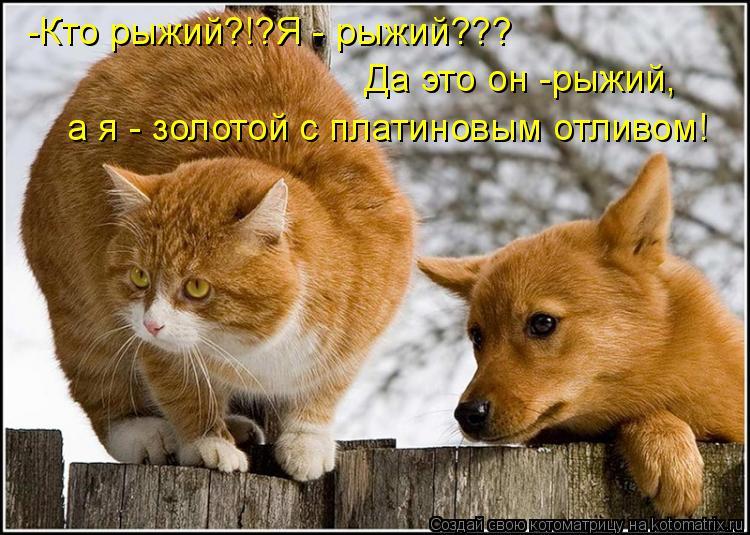 Котоматрица: -Кто рыжий?!?Я - рыжий??? Да это он -рыжий, а я - золотой с платиновым отливом!
