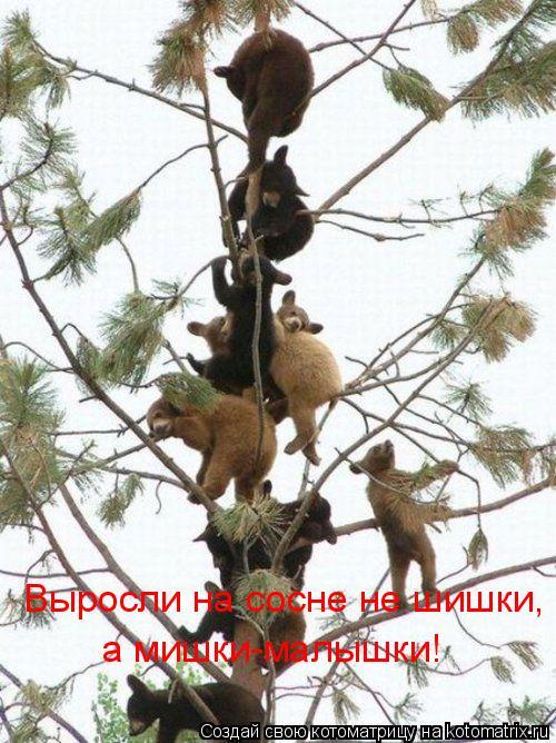 Котоматрица: Выросли на сосне не шишки, а мишки-малышки!
