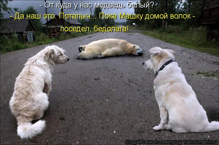 Котоматрица: - От куда у нас медведь белый? поседел, бедолага! - Да наш это. Потапыч... Пока Машку домой волок -