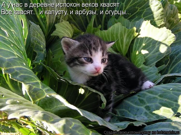 Котоматрица: А у нас в деревне испокон веков квасят Все квасят... и капусту, и арбузы, и огурцы...