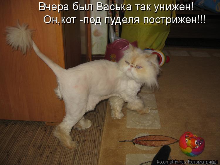 Котоматрица: Вчера был Васька так унижен! Он,кот -под пуделя пострижен!!!
