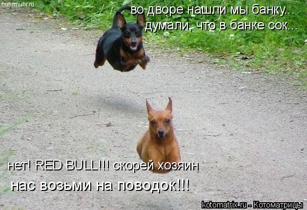 Котоматрица: во дворе нашли мы банку... думали, что в банке сок... нет! RED BULL!!! скорей хозяин нас возьми на поводок!!!