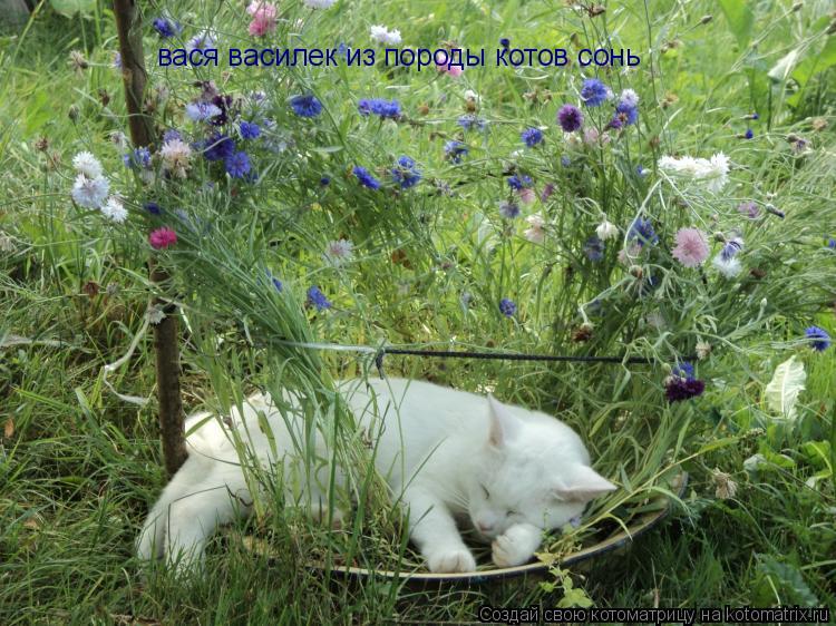 Котоматрица: вася василек из породы котов сонь