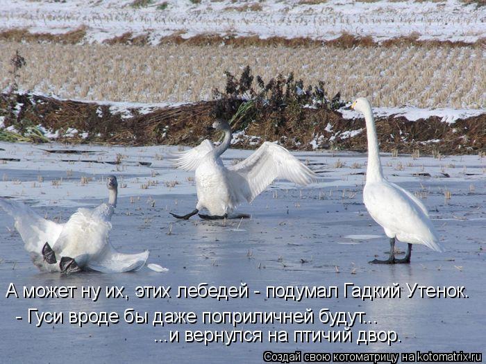 Котоматрица: А может ну их, этих лебедей - подумал Гадкий Утенок. - Гуси вроде бы даже поприличней будут... ...и вернулся на птичий двор.