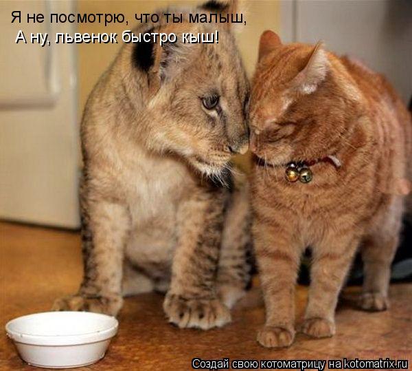 Котоматрица: Я не посмотрю, что ты малыш, А ну, львенок быстро кыш!