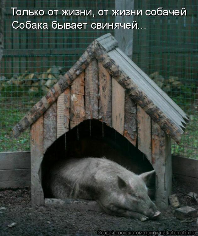 Котоматрица: Только от жизни, от жизни собачей Собака бывает свинячей...