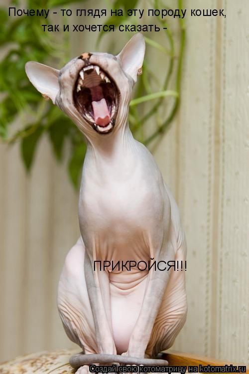Котоматрица: Почему - то глядя на эту породу кошек,  так и хочется сказать -  ПРИКРОЙСЯ!!!