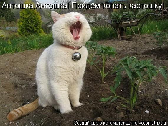 Котоматрица: Антошка,Антошка! Пойдём копать картошку!