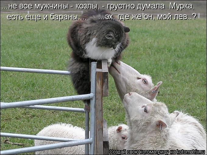 Котоматрица: ...не все мужчины - козлы, - грустно думала  Мурка,   есть еще и бараны.... ...эх, где же он, мой лев..?