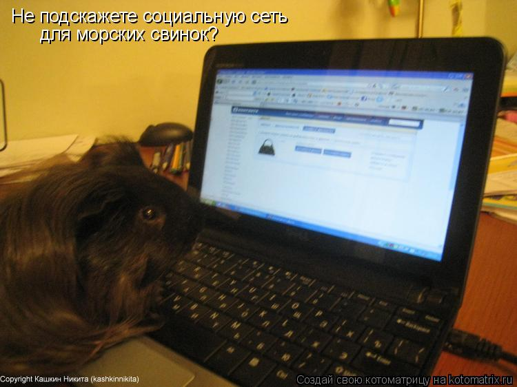 Котоматрица: Не подскажете социальную сеть для морских свинок?