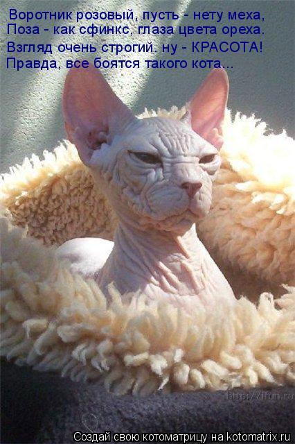 Котоматрица: Воротник розовый, пусть - нету меха, Взгляд очень строгий. ну - КРАСОТА! Поза - как сфинкс, глаза цвета ореха. Правда, все боятся такого кота...