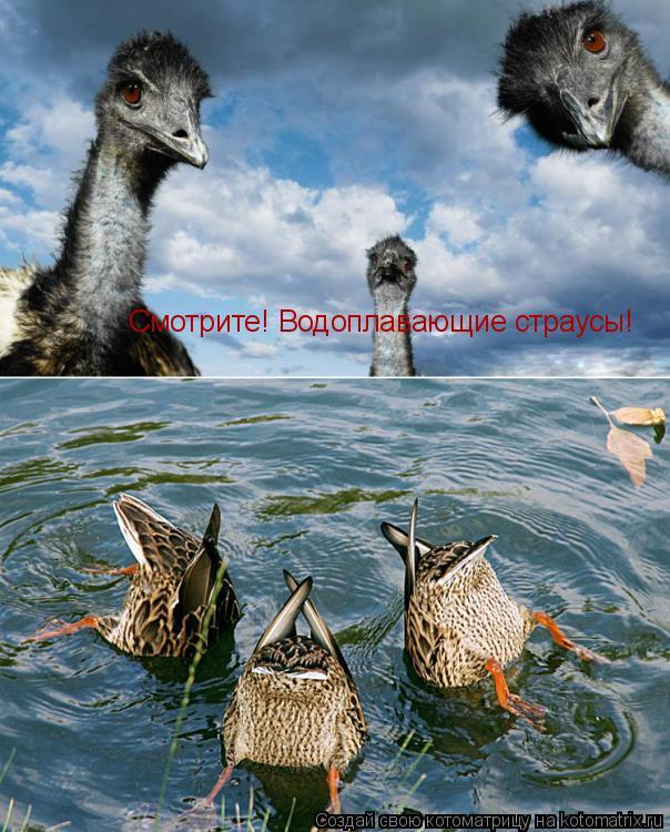 Котоматрица: Смотрите! Водоплавающие страусы!