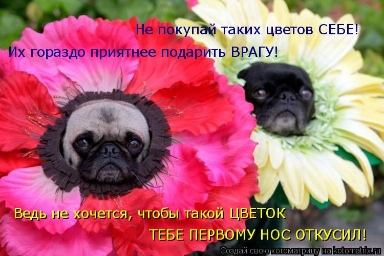 Котоматрица: Не покупай таких цветов СЕБЕ! Их гораздо приятнее подарить ВРАГУ! Ведь не хочется, чтобы такой ЦВЕТОК ТЕБЕ ПЕРВОМУ НОС ОТКУСИЛ!