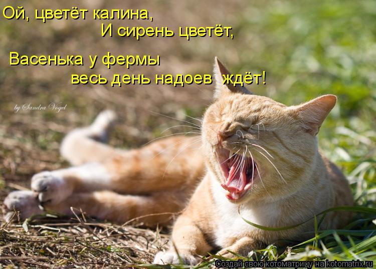 Котоматрица: Ой, цветёт калина, И сирень цветёт, Васенька у фермы весь день надоев  ждёт!