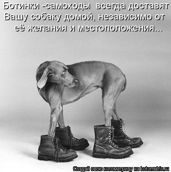 Котоматрица: Ботинки -самоходы  всегда доставят  Вашу собаку домой, независимо от  её желания и местоположения...