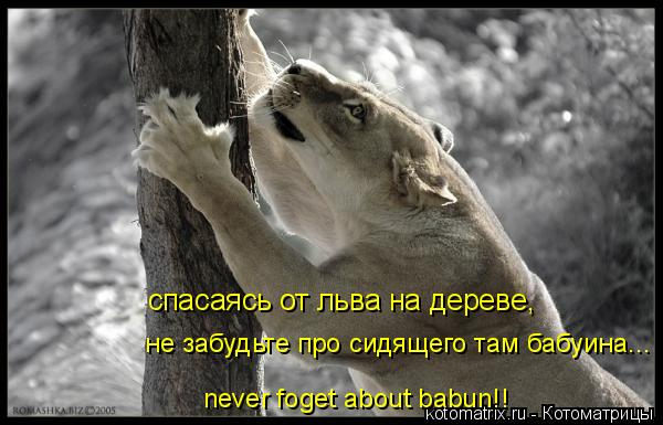 Котоматрица: спасаясь от льва на дереве, не забудьте про сидящего там бабуина... never foget about babun!!