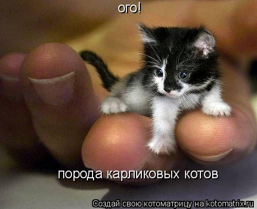 Котоматрица: ого! порода карликовых котов