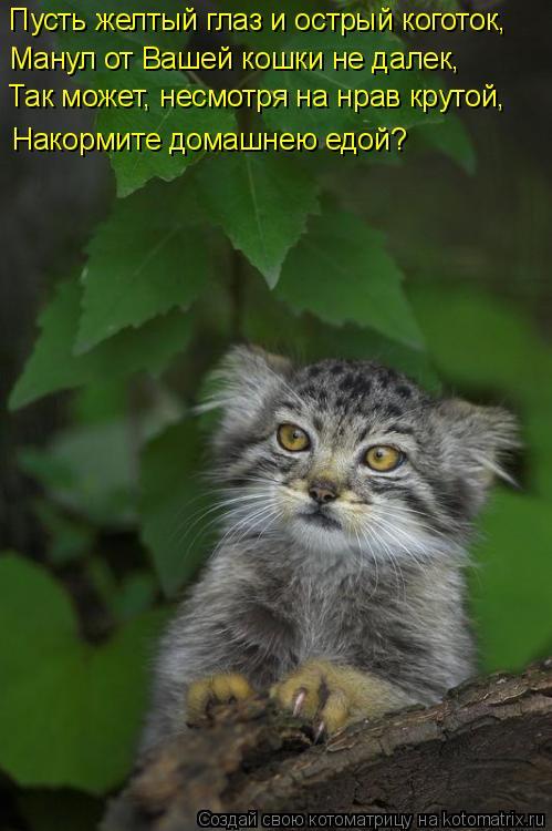 Котоматрица: Пусть желтый глаз и острый коготок, Манул от Вашей кошки не далек, Так может, несмотря на нрав крутой, Накормите домашнею едой?