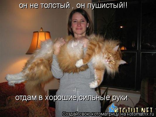 Котоматрица: он не толстый , он пушистый!! отдам в хорошие,сильные руки