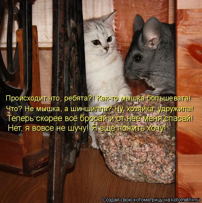 Котоматрица: Происходит что, ребята?! Как-то мышка большевата! Что? Не мышка, а шиншилла? Ну, хозяйка, удружила! Теперь скорее всё бросай и от неё меня спаса