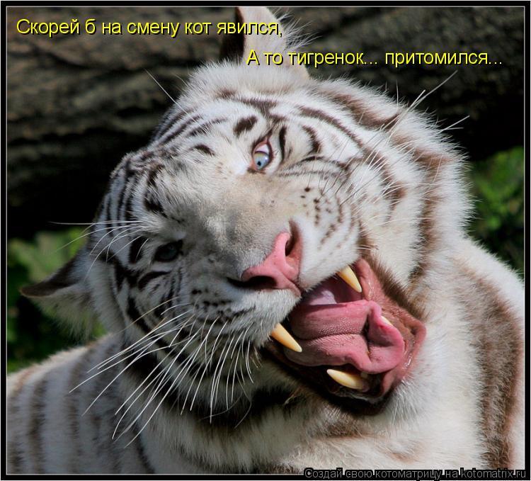 Котоматрица: Скорей б на смену кот явился, А то тигренок... притомился...