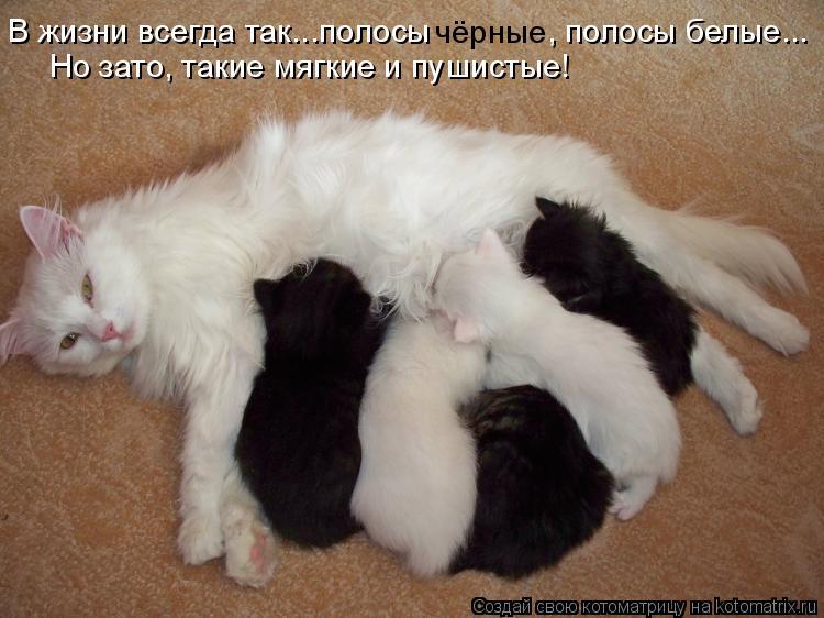 Котоматрица: В жизни всегда так...полосы  чёрные , полосы белые... Но зато, такие мягкие и пушистые!