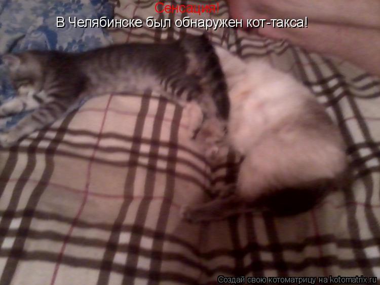 Котоматрица: Сенсация! В Челябинске был обнаружен кот-такса!