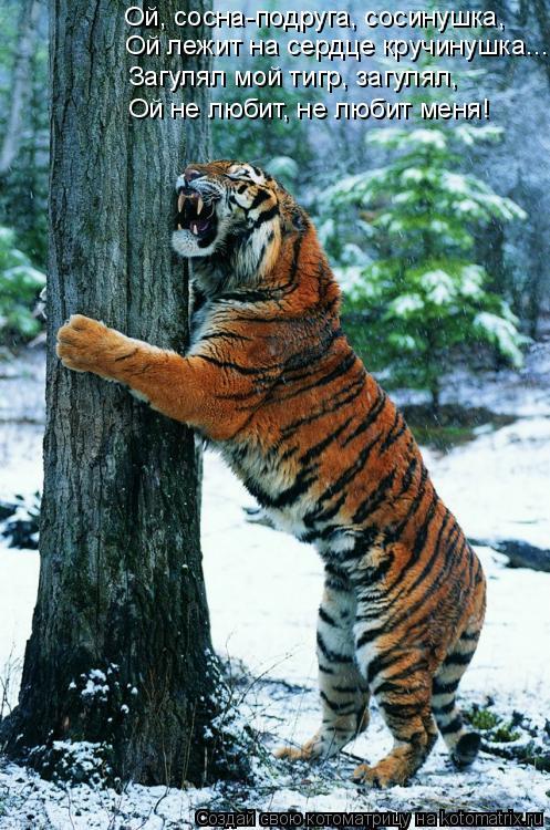 Котоматрица: Ой, сосна-подруга, сосинушка, Ой лежит на сердце кручинушка... Загулял мой тигр, загулял, Ой не любит, не любит меня!