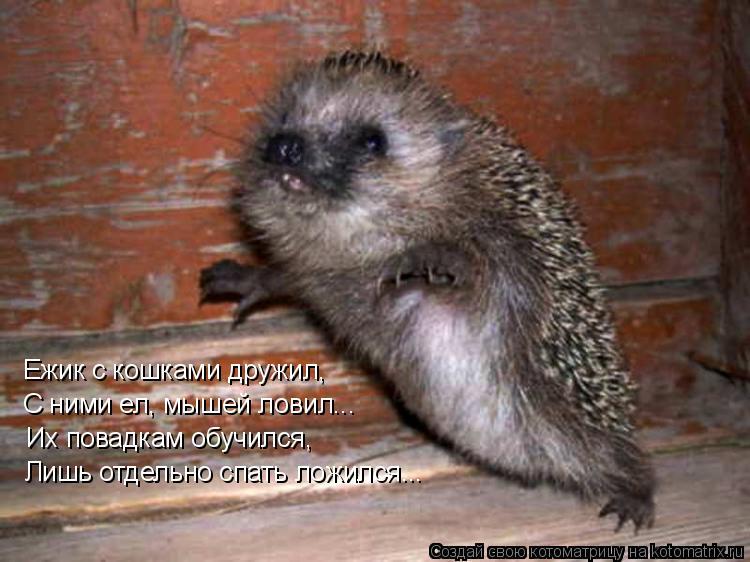 Котоматрица: Ежик с кошками дружил, С ними ел, мышей ловил... Их повадкам обучился, Лишь отдельно спать ложился...