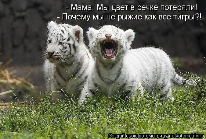 Котоматрица: - Мама! Мы цвет в речке потеряли! - Почему мы не рыжие как все тигры?!