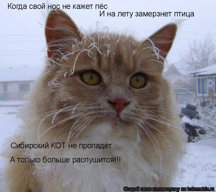 Когда свой нос не кажет пёс И на лету замерзнет птица Сибирский КОТ не