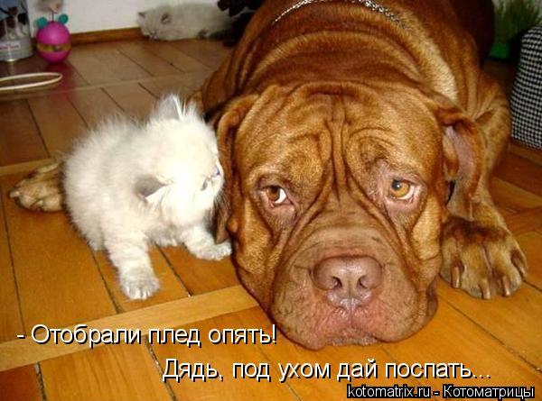 Котоматрица: - Отобрали плед опять!  Дядь, под ухом дай поспать...