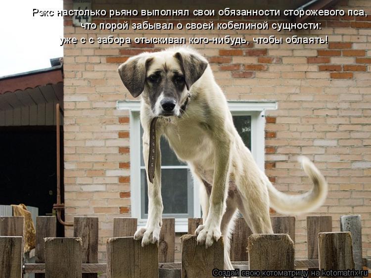 Котоматрица: Рэкс настолько рьяно выполнял свои обязанности сторожевого пса, что порой забывал о своей кобелиной сущности: уже с с забора отыскивал ког