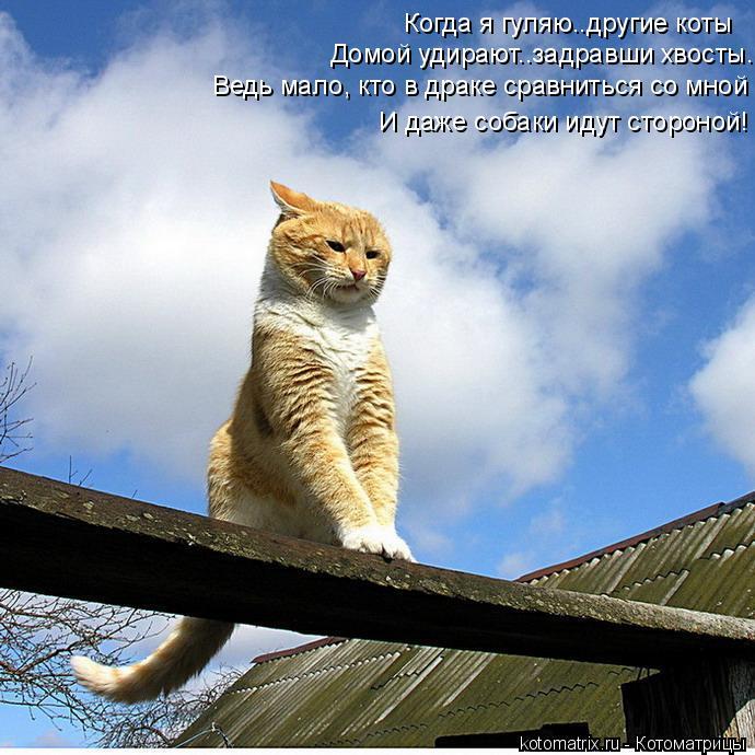 Котоматрица: Когда я гуляю..другие коты Домой удирают..задравши хвосты. Ведь мало, кто в драке сравниться со мной И даже собаки идут стороной!