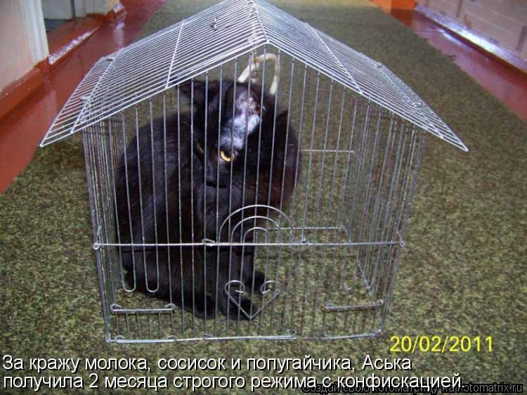 Котоматрица: За кражу молока, сосисок и попугайчика, Аська получила 2 месяца строгого режима с конфискацией.
