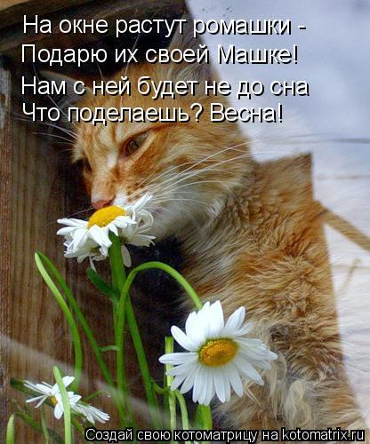 Котоматрица: На окне растут ромашки -  Подарю их своей Машке! Нам с ней будет не до сна Что поделаешь? Весна!