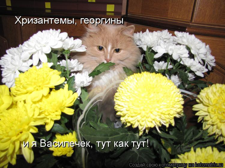 Котоматрица: Хризантемы, георгины  и я Василечек, тут как тут!